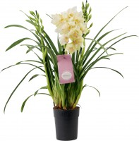 Orchidee 3-Trieber