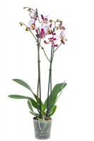 Orchidee 'Polka Dots' 2-Trieber